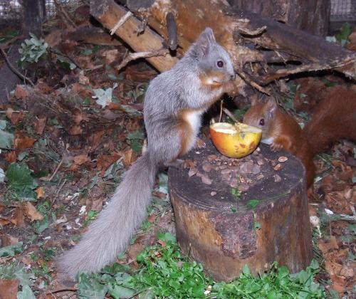 Eichhörnchen Züchter